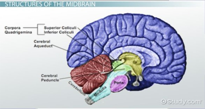 Functions Of Midbrain