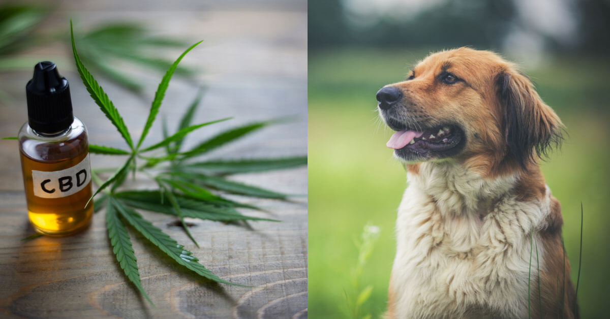 How Long Does It Take For Cbd Oil To Start Working In Dogs