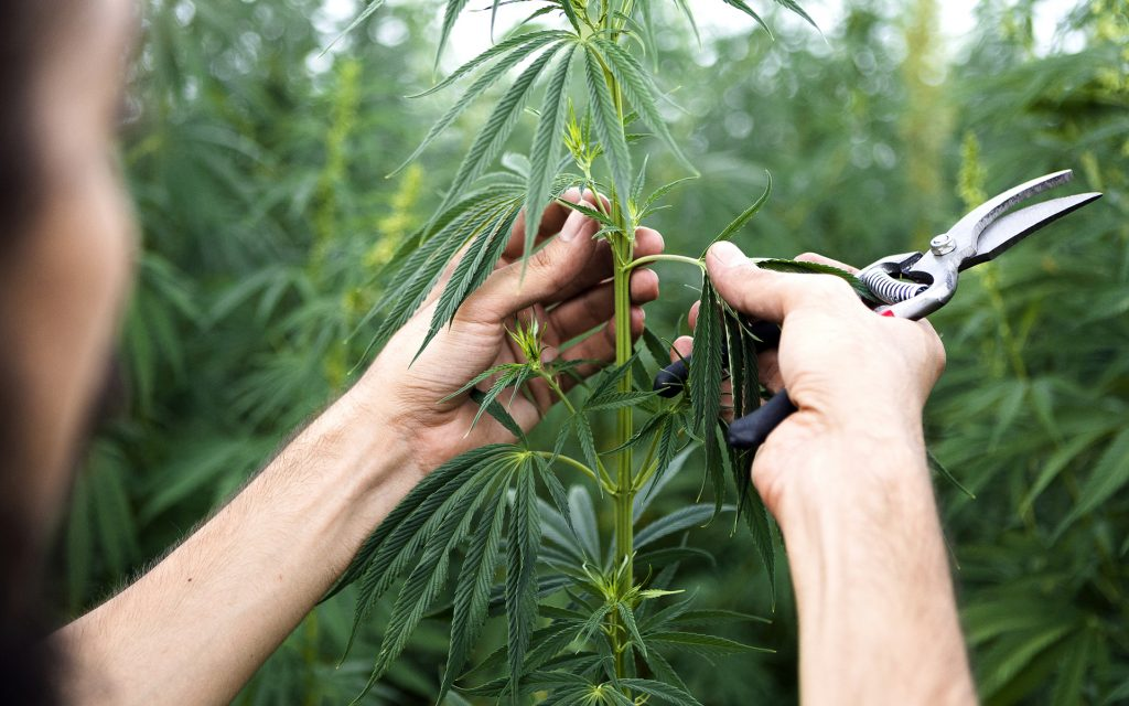 What To Use To Cut Hemp Plants For Cbd Oil By Hand