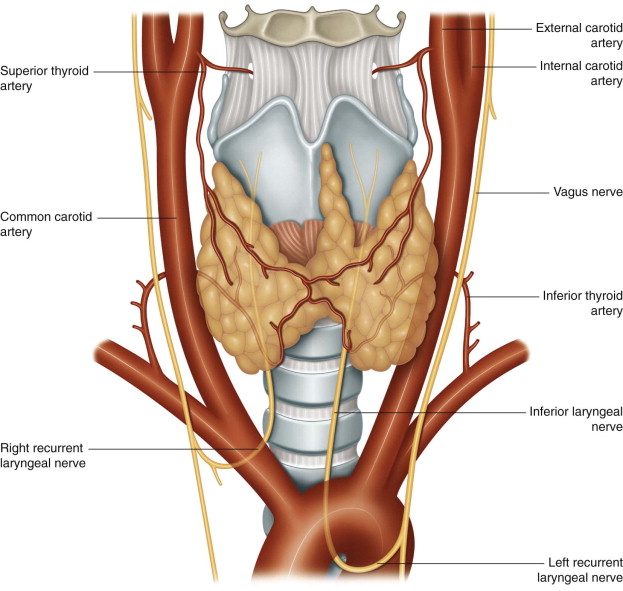 Thyroid Artery